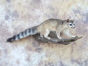 ringtailed cat taxidermy