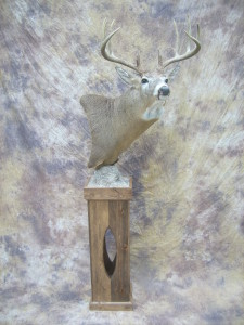 wide ten whitetail deer pedestal taxidermy