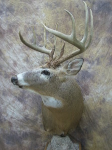 wide ten missouri whitetail deer taxidermy pedestal side view