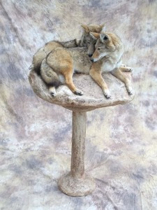 coyote pair taxidermy 2