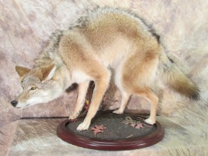 coyotearched