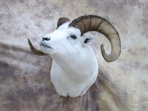 dallsheep3