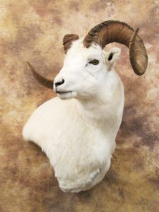 dallsheep